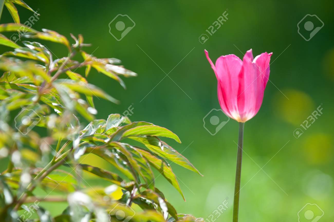 Aiola O Aiuola.Paesaggio Primaverile Tulipani In Un Aiuola Della Citta Tulipano Sullo Sfondo Della Natura Il Primo Piano Di Bella Molla Fiorisce Su Un Aiola Verde