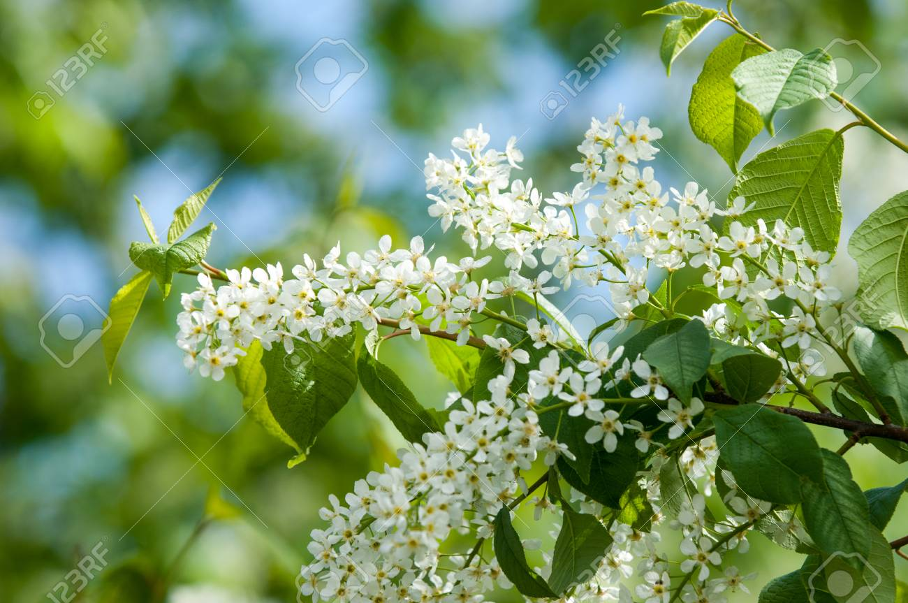 Spring Flowers Bird Cherry A Tree With White Fragrant Flowers