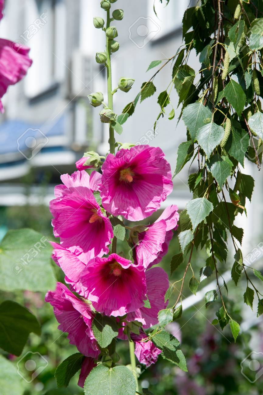 Mallow Flowers A Herbaceous Plant With Hairy Stems Pink Or Purple