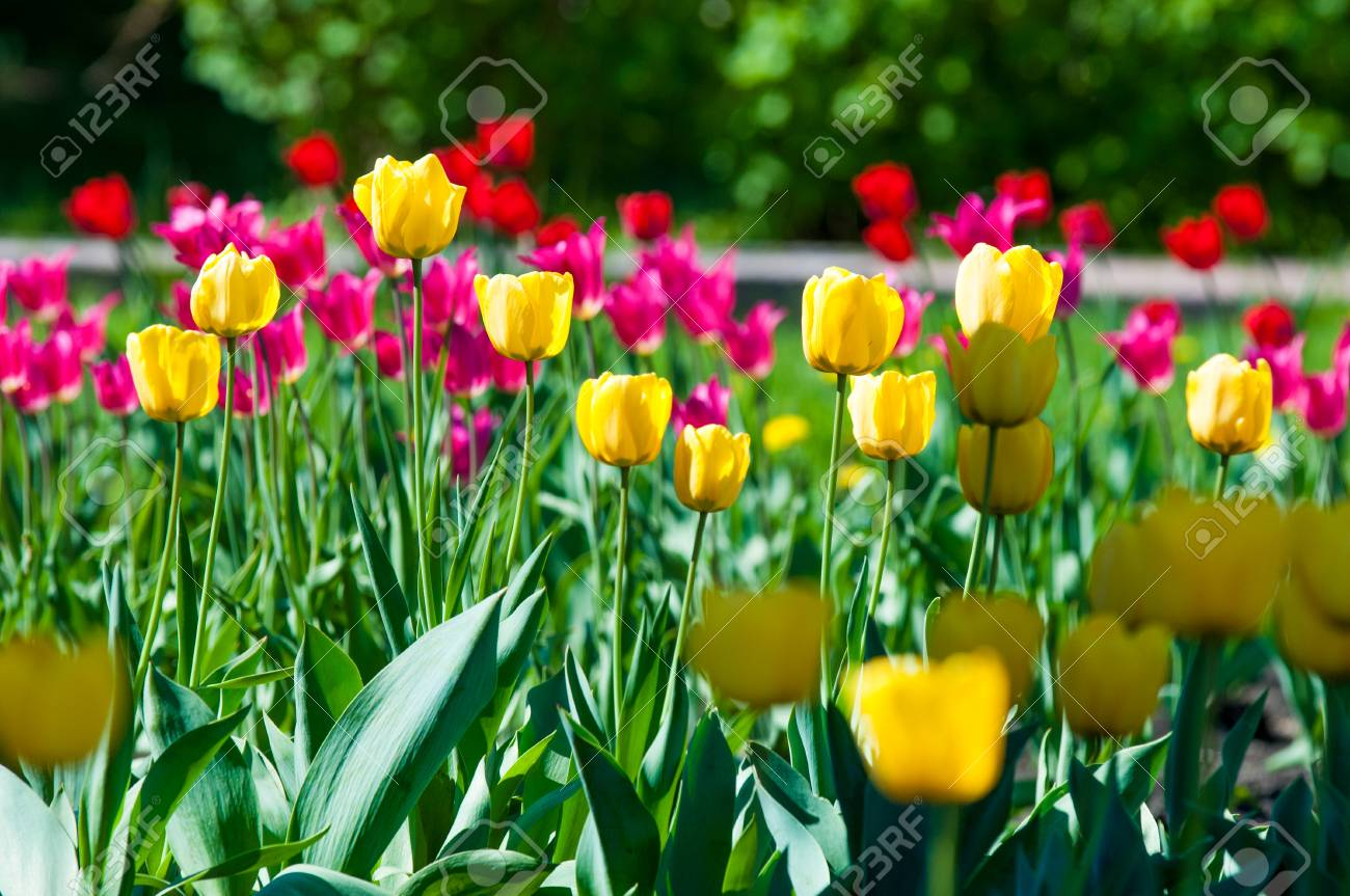 Spring Flowers Tulips Tulips Of Colorful Flowers In The Spring