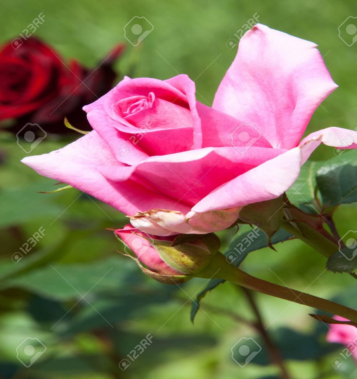 Rose flower a prickly bush or shrub that typically bears red rose flower a prickly bush or shrub that typically bears red pink yellow mightylinksfo