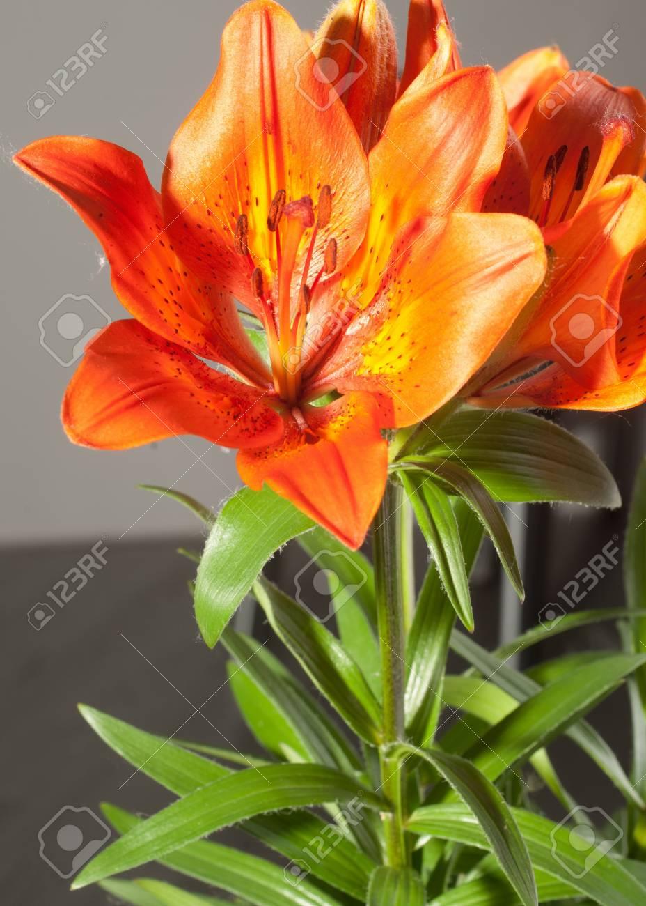 Red lilies a heraldic fleur de lis a vibrant spray of two wine red red lilies a heraldic fleur de lis a vibrant spray of two izmirmasajfo