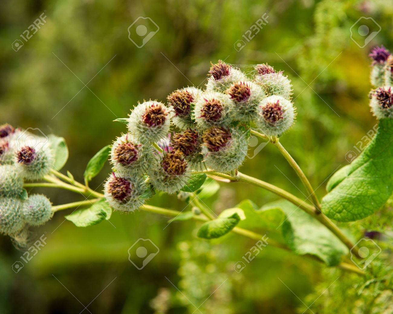 Arctium lappa, burdock  a large herbaceous Old World plant of