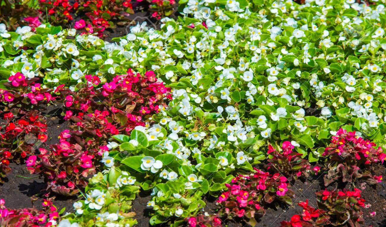 Begonia Is A Genus Of Perennial Flowering Plants Of The Begonian