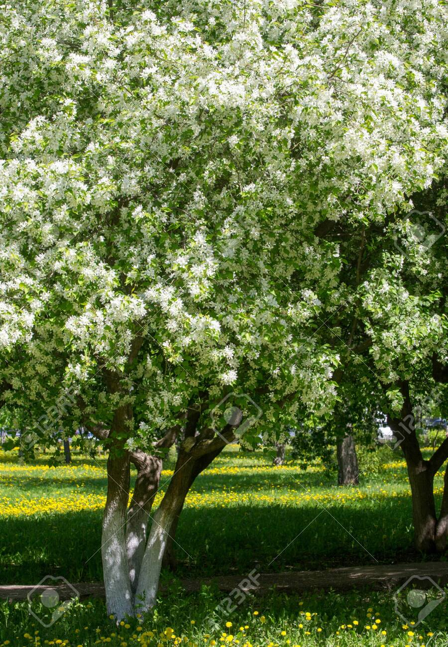 Apple Flowers, Apple blossom. in the sunshine over natural green background. tree white blossoms in Spring. - 137581578
