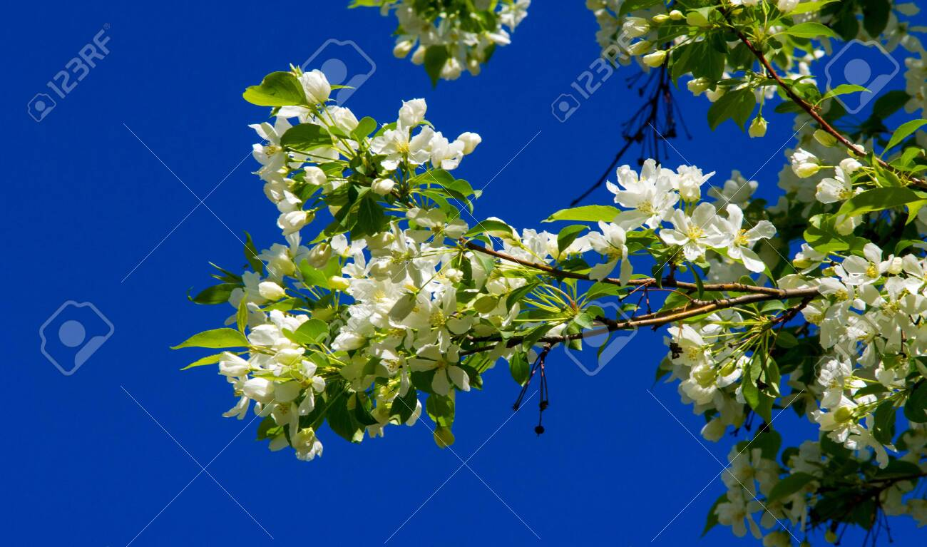 Apple Flowers, Apple blossom. in the sunshine over natural green background. tree white blossoms in Spring. - 137319555