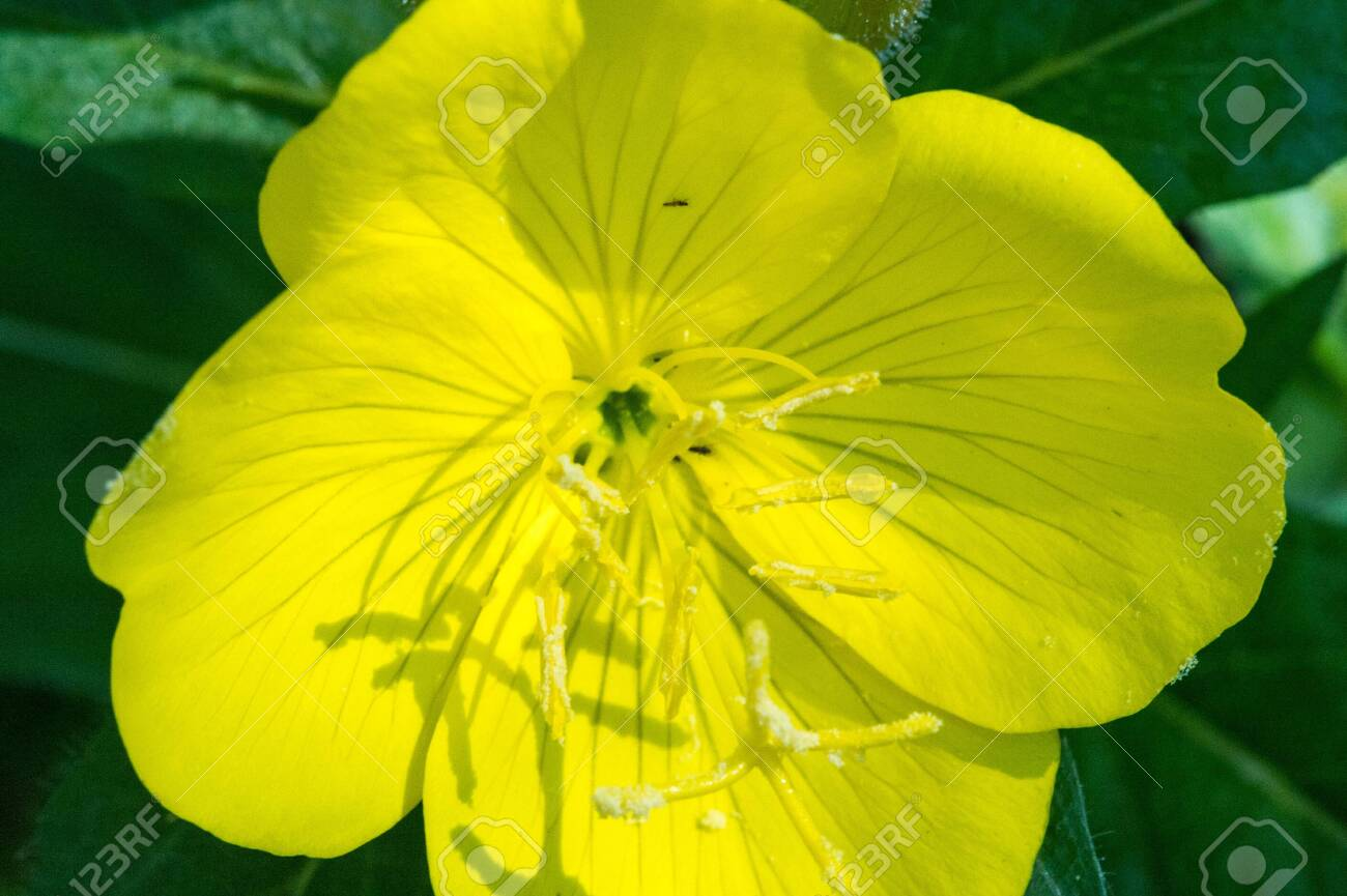 Oenothera may have originated in Mexico and Central America. Some Oenothera plants have edible parts. The roots of O. biennis are reported to be edible in young plants. - 137321147