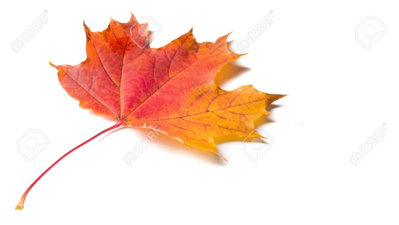 Autumn colorful maple leaf - 141858839