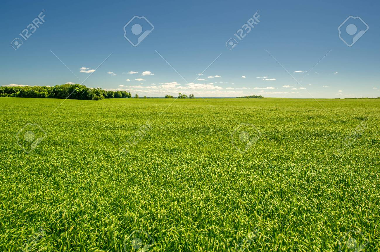 summer landscape, green cereals on cultivated fields, wheat, oats, barley, rye grow on a huge field, a walk along the European part of the earth - 154113324