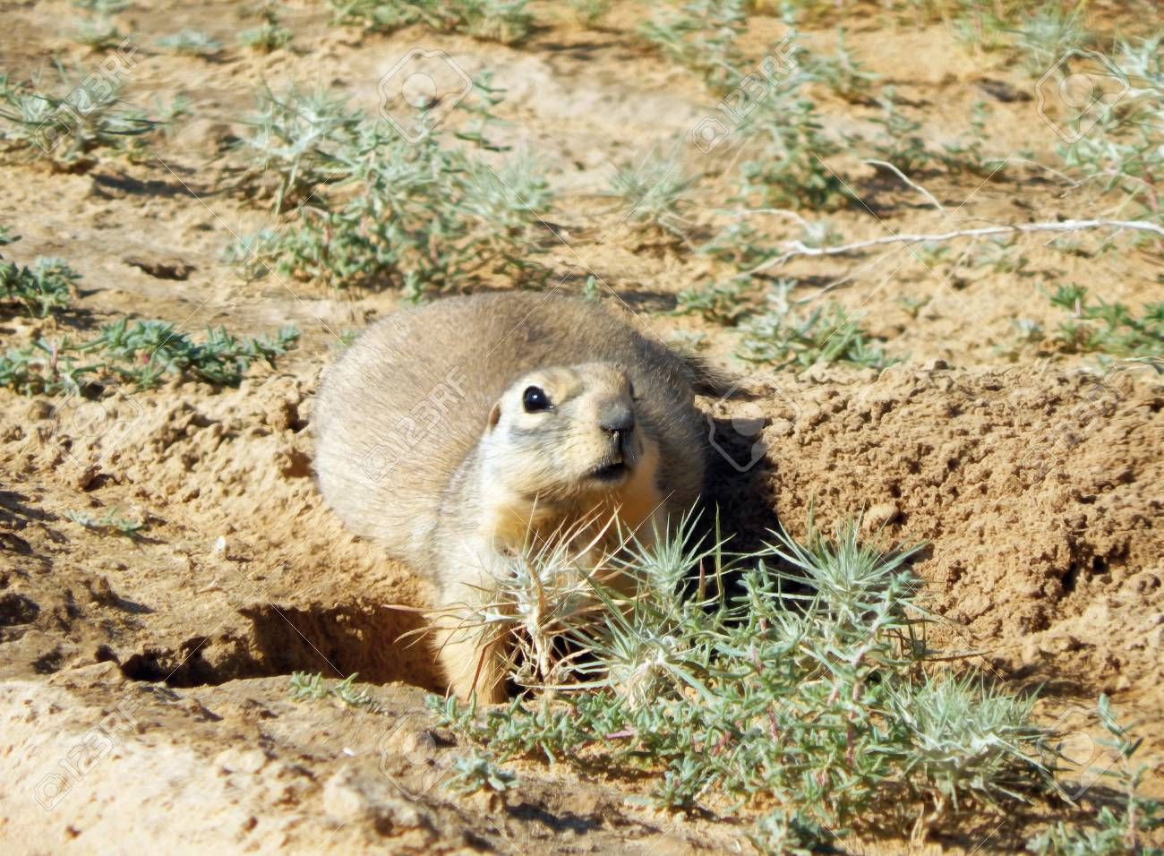 Gopher near the burrow - Kazakhstan  Mangistau region