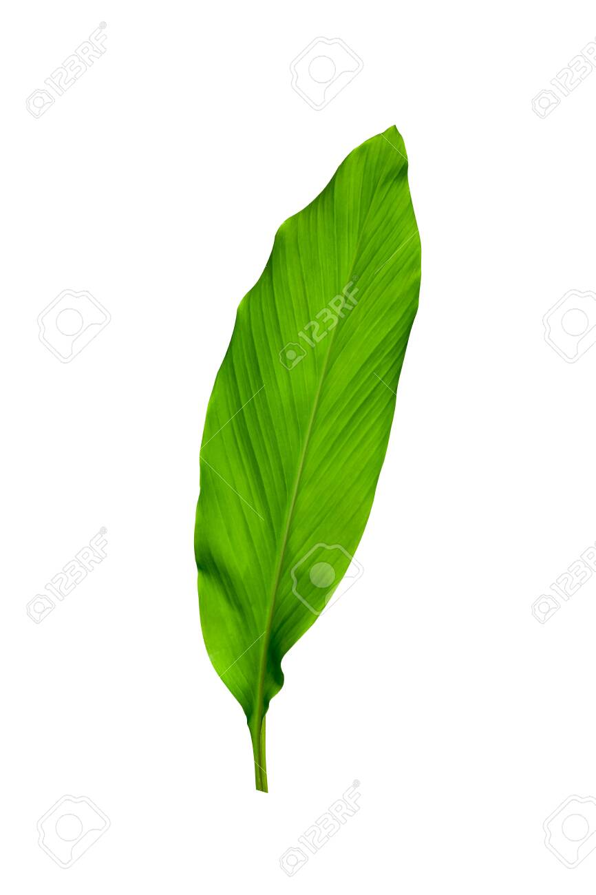 Green Leaves Of Turmeric Curcuma Longa Ginger Medicinal Herbal Stock Photo Picture And Royalty Free Image Image 142815602