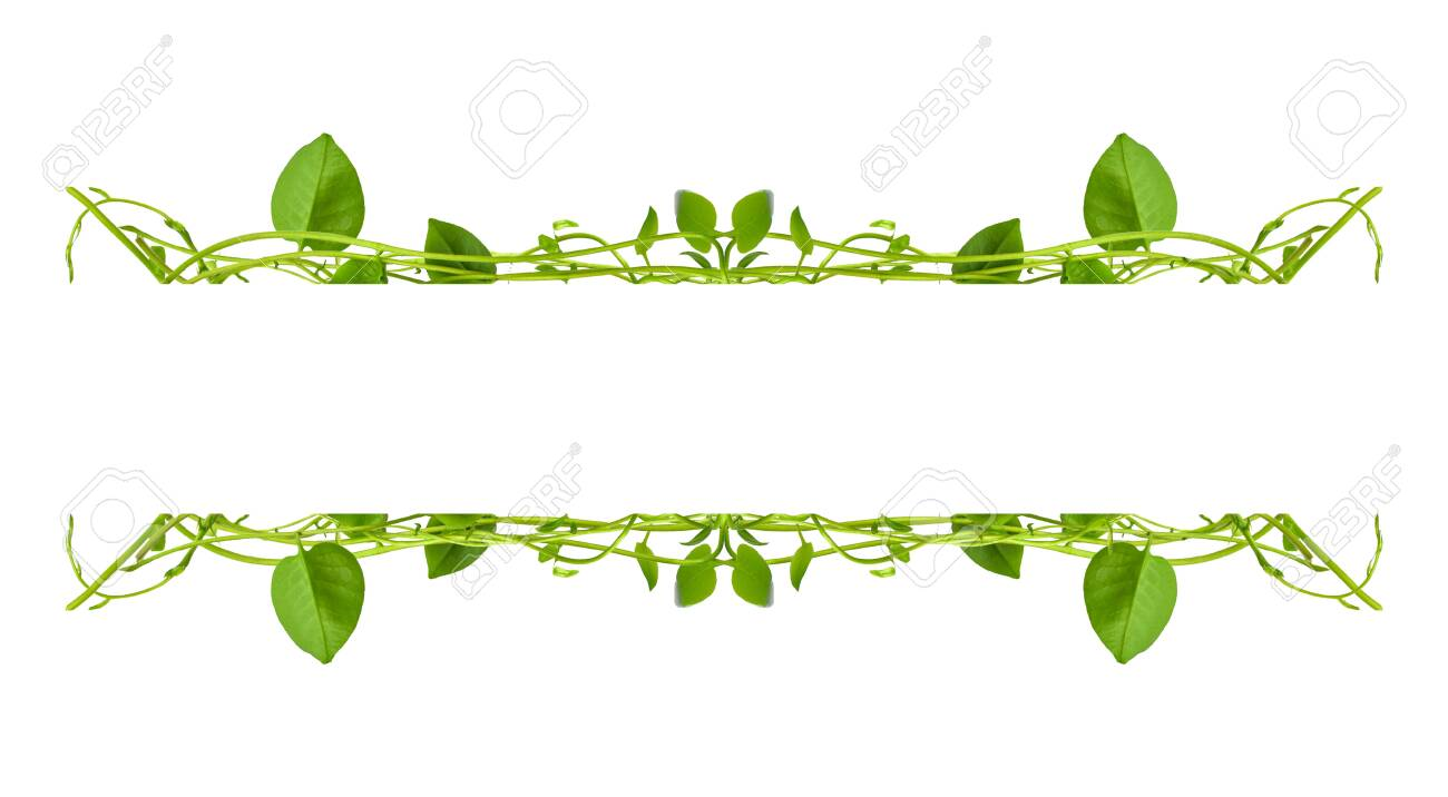 Heart Shaped Green Leaves Twisted Binahong Plant For Herbal Medicine Stock Photo Picture And Royalty Free Image Image 143189576