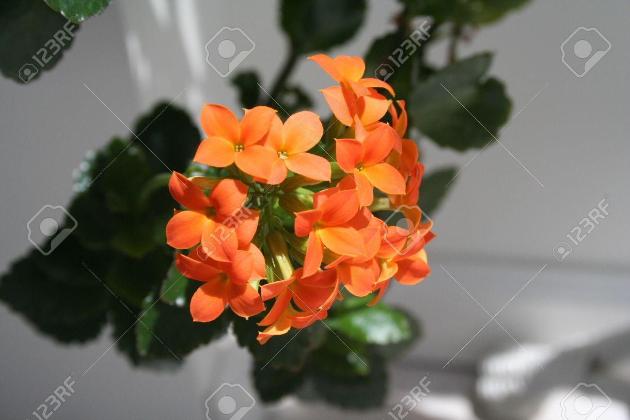 flores naranja plantas de interior foto de archivo