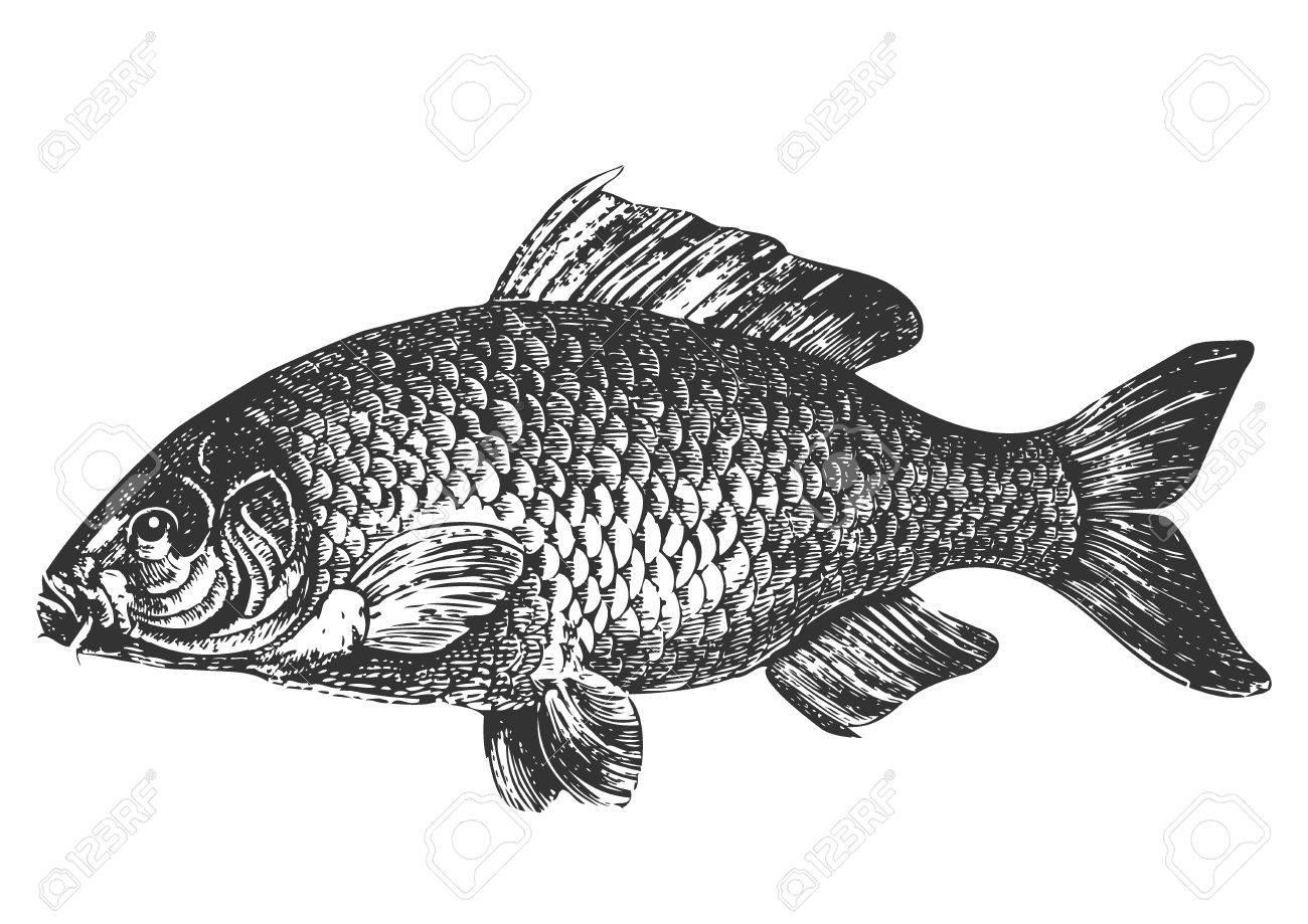 Carp fish antique illustration Stock Vector - 7700158