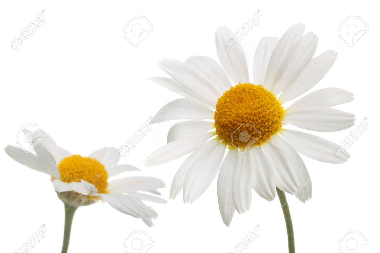 chamomile flowers in isolation Stock Photo - 10245018