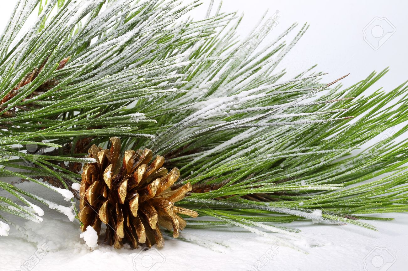 Pine branch with cones in the snow Stock Photo - 10549268