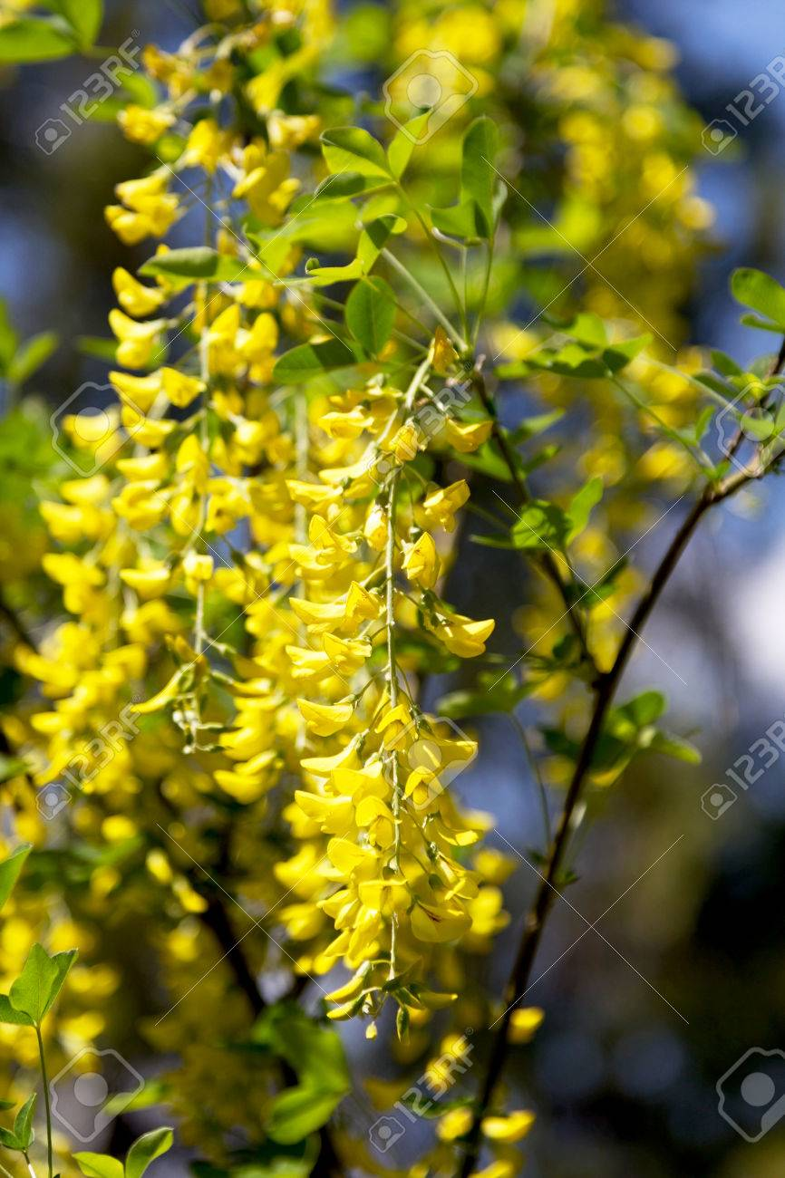 Blossoming Acacia Bunches Of Yellow Flowers In The Office Light