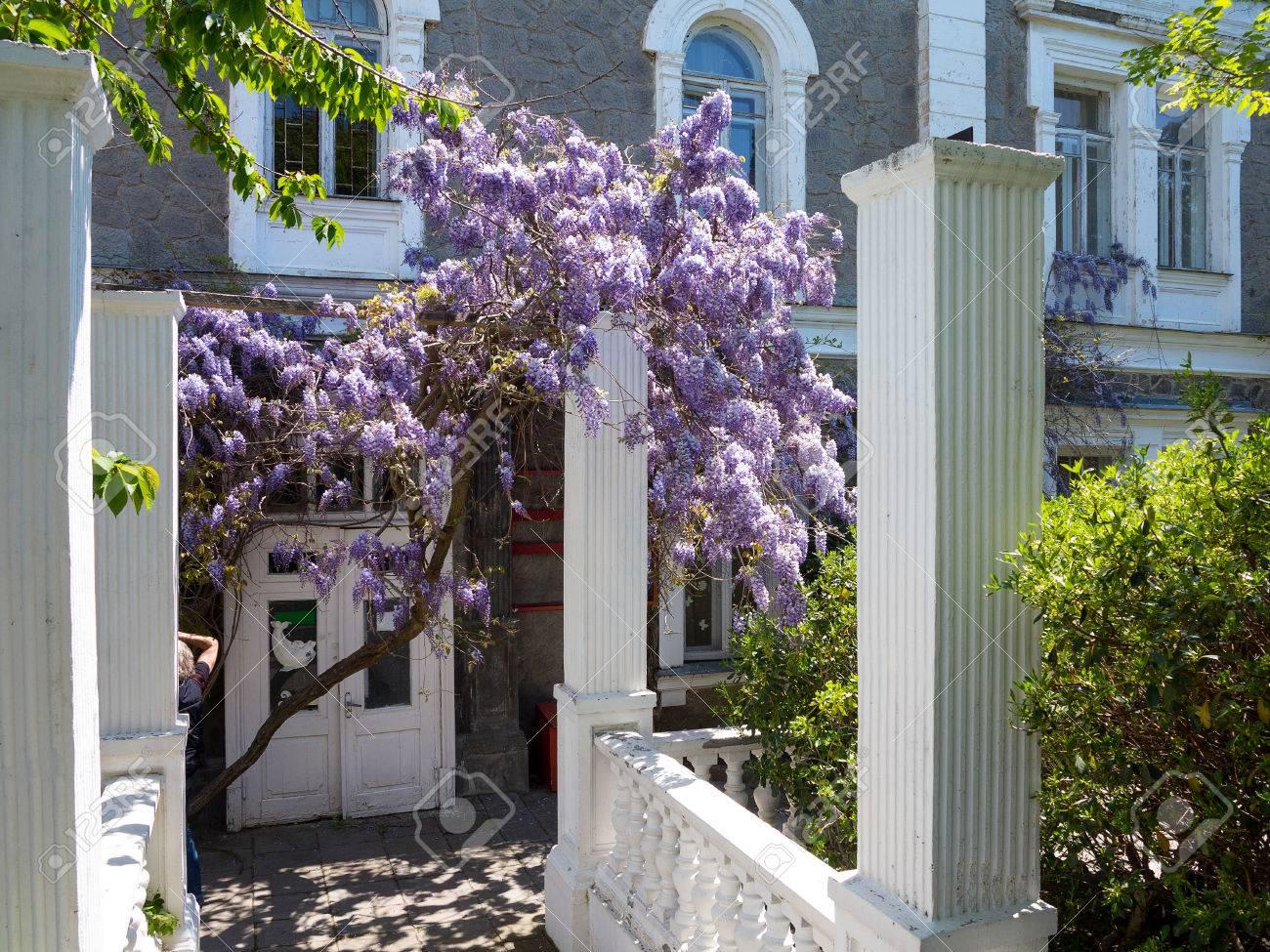 Couleur Façade Maison Ancienne façade de l'ancienne maison de maître encadrée de grappes violettes de  glycines aux feuilles vertes à peine fleuries. la palette de couleurs  douces de