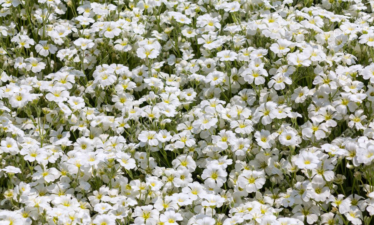 Little White Flowers Background Authentic Small Flowers With