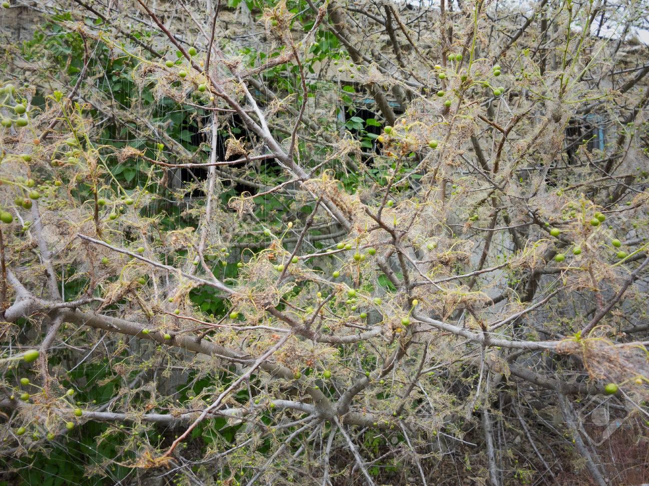 木 毛虫 桜の