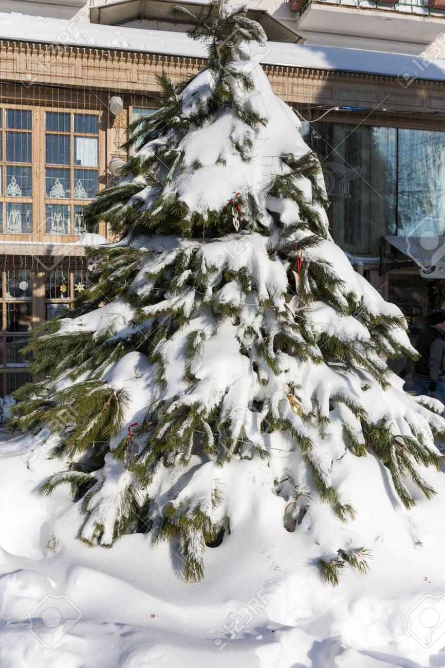 Icicles For Christmas Trees.Green Christmas Trees Are Covered With Snow And Icicles Snowdrifts
