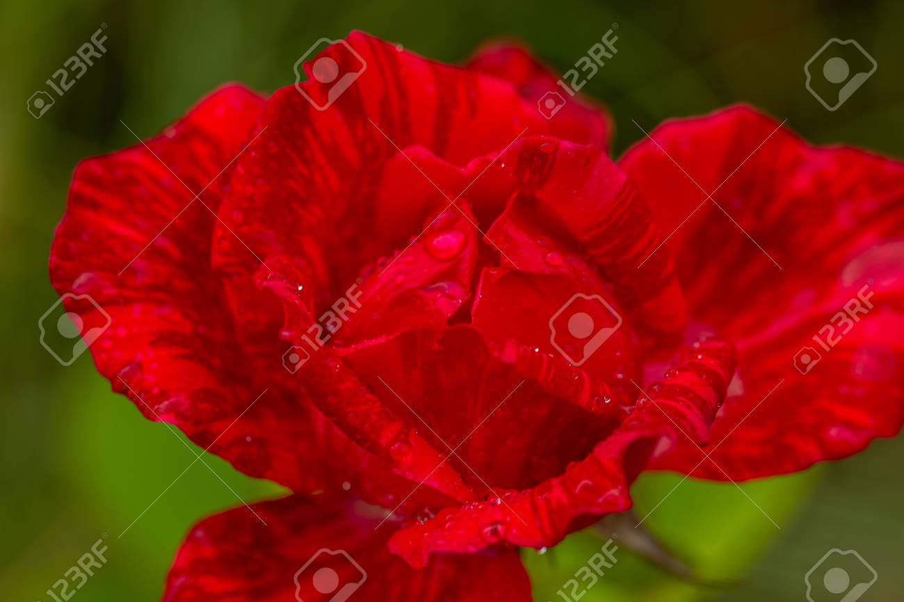 Red Rose Flower With Water Drops On Green Grass Background Flowers