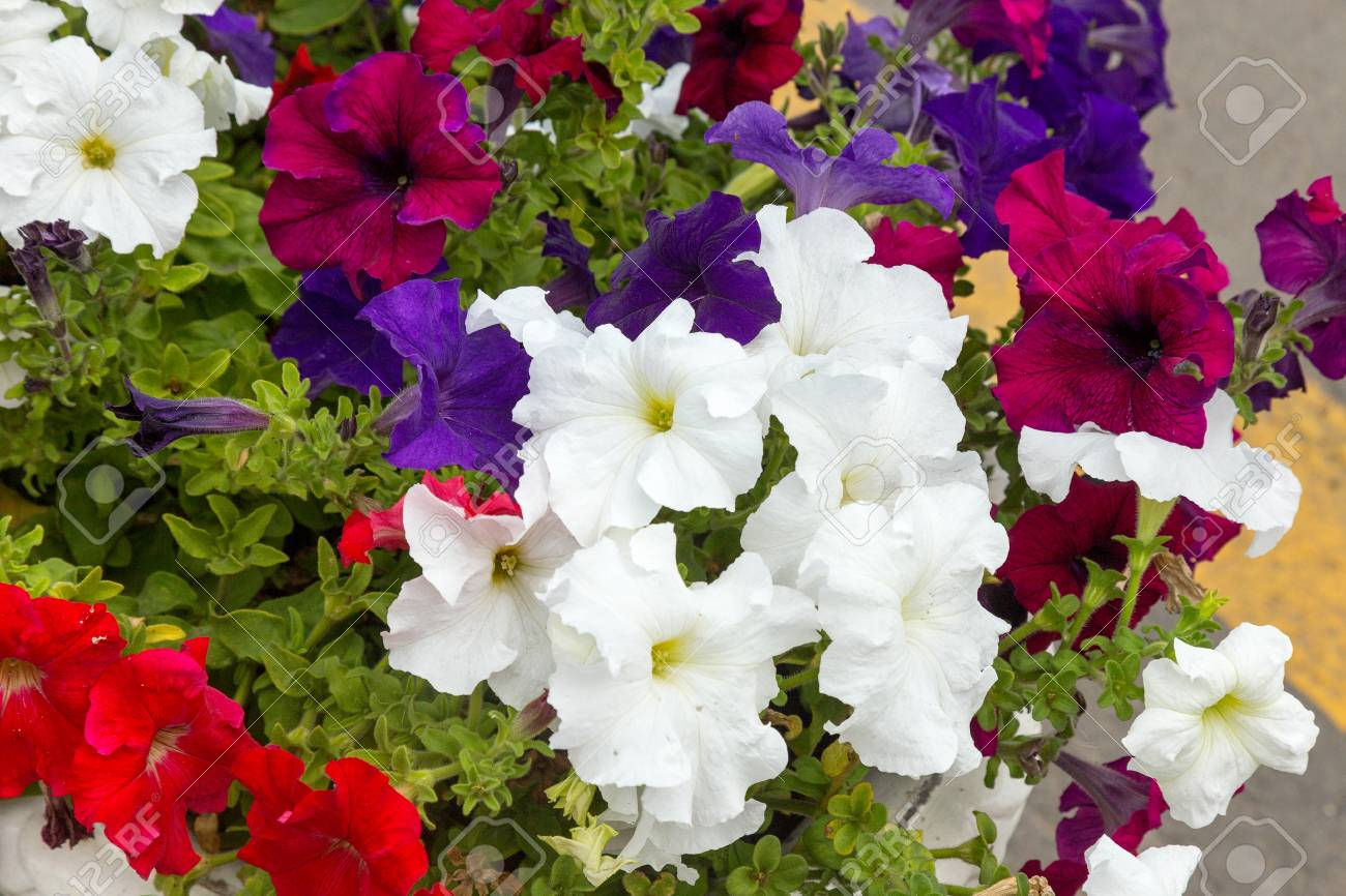 Mixed Petunia Flowers Petunias In Floral Detail Background Image
