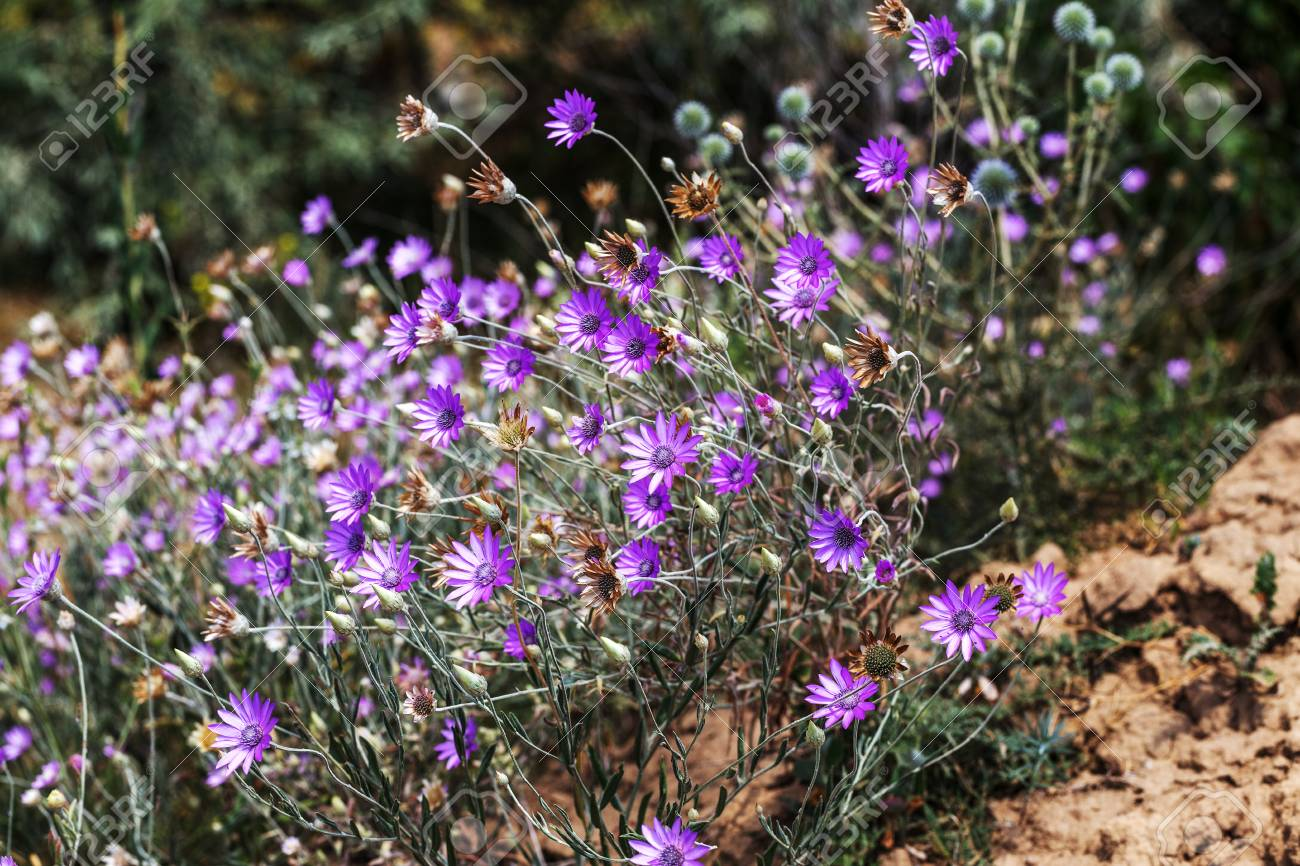 Pink And Purple Flowers Immortelle Xeranthemum Annuum In The