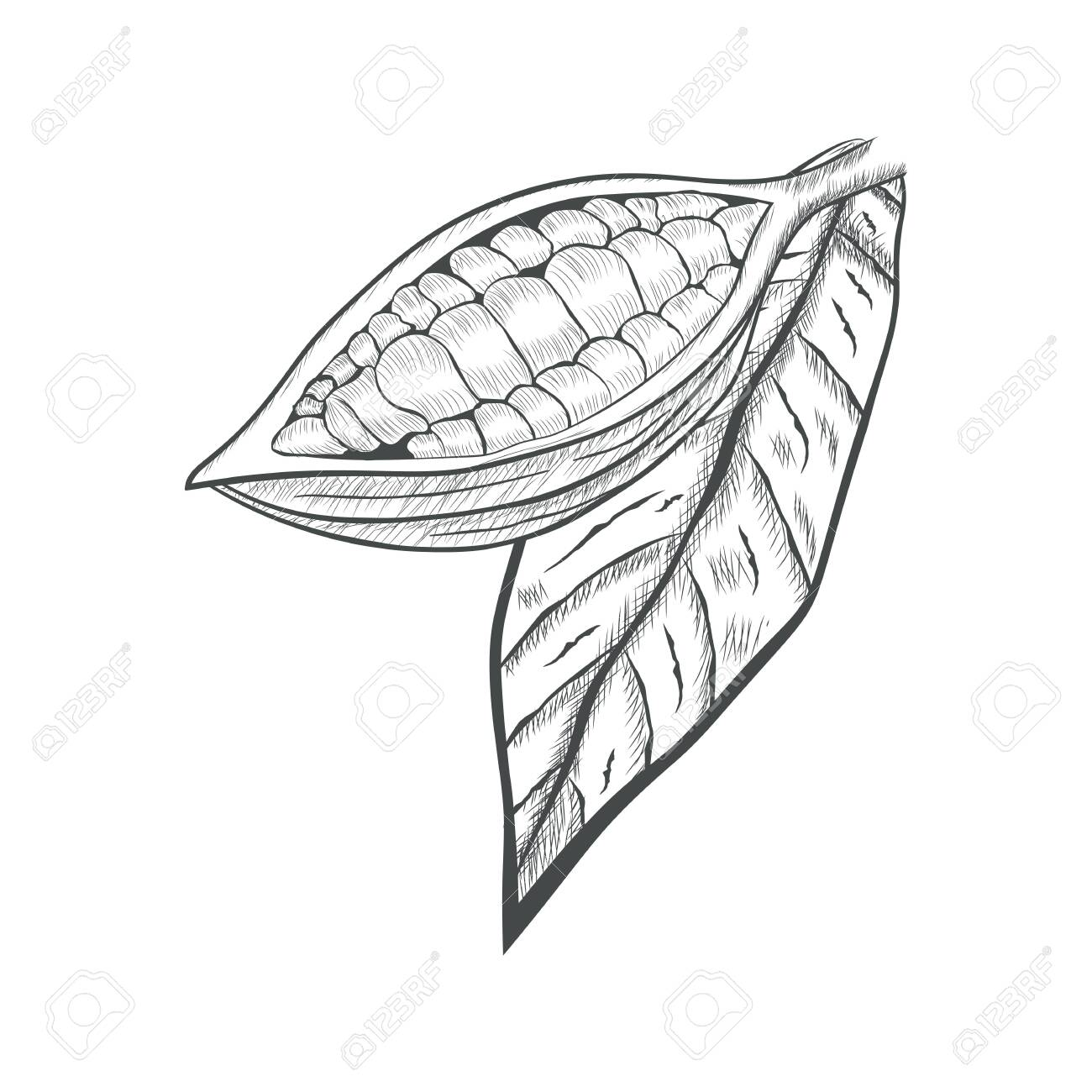 Fruit Chocolate Tree In A Cut With Cocoa Beans Theobroma Cacao Royalty Free Cliparts Vectors And Stock Illustration Image 122286546