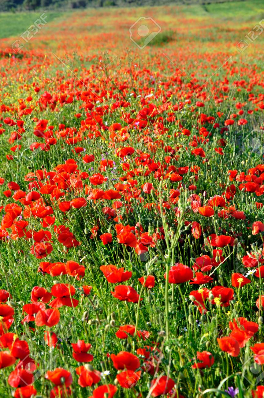 Poppy Flower Field In Turkey Stock Photo Picture And Royalty Free