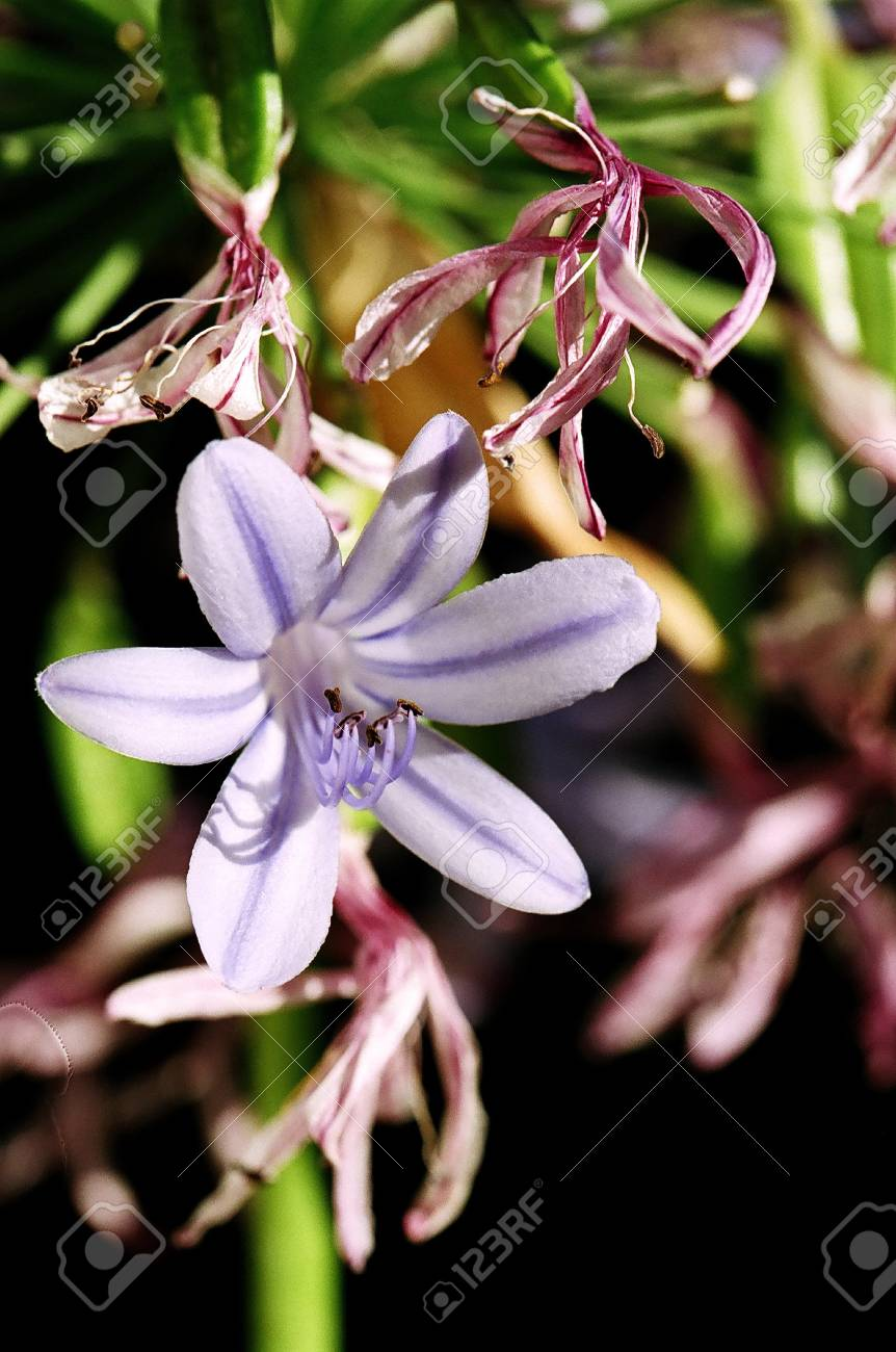 Blossoming lily of the nile agapanthus with whithering flowers blossoming lily of the nile agapanthus with whithering flowers surrounding stock photo 19428324 izmirmasajfo