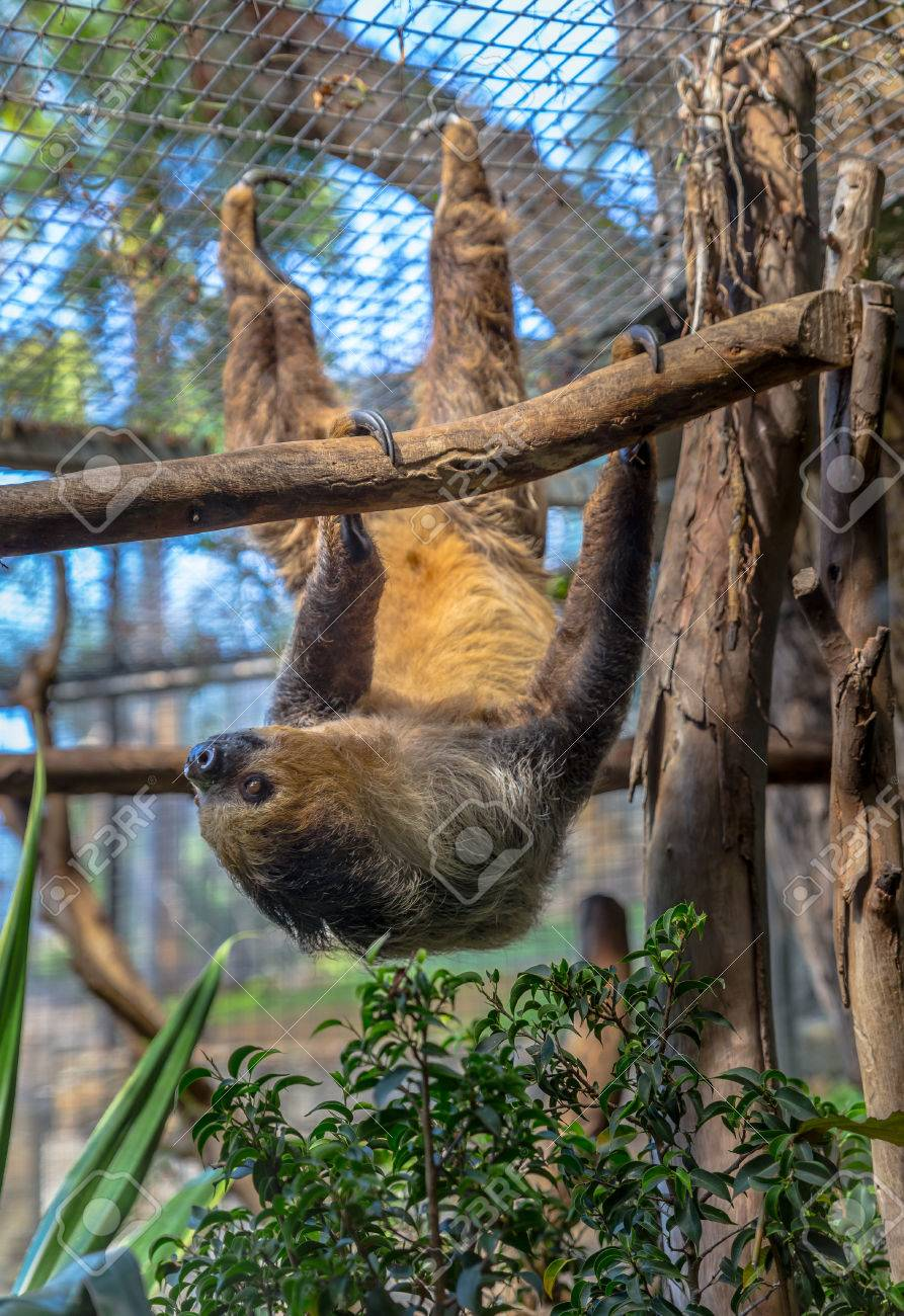 two toed sloth hanging on a tree stock photo picture and royalty