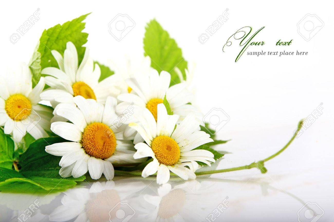 daisy flowers in white background selective dof stock photo