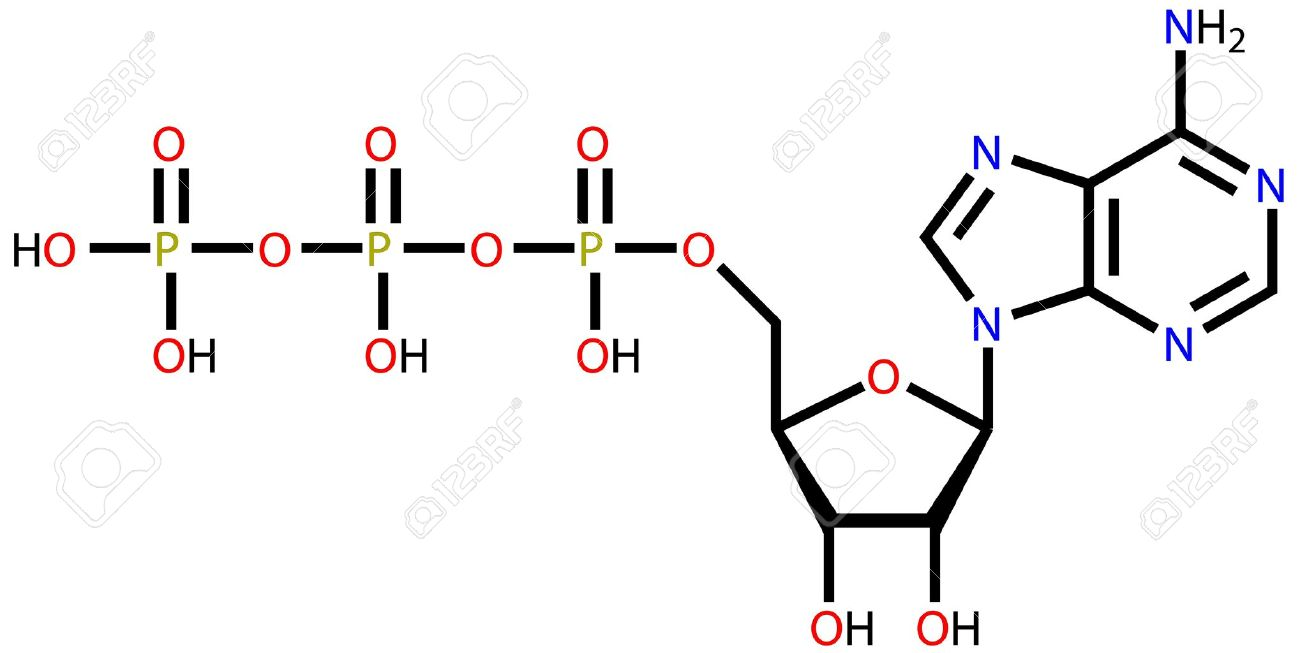 Structural formula of adenosine triphosphate (ATP) on a white background Stock Vector - 12416296