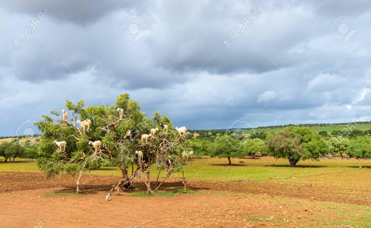 Goats graze in an argan tree - Morocco - 74950114