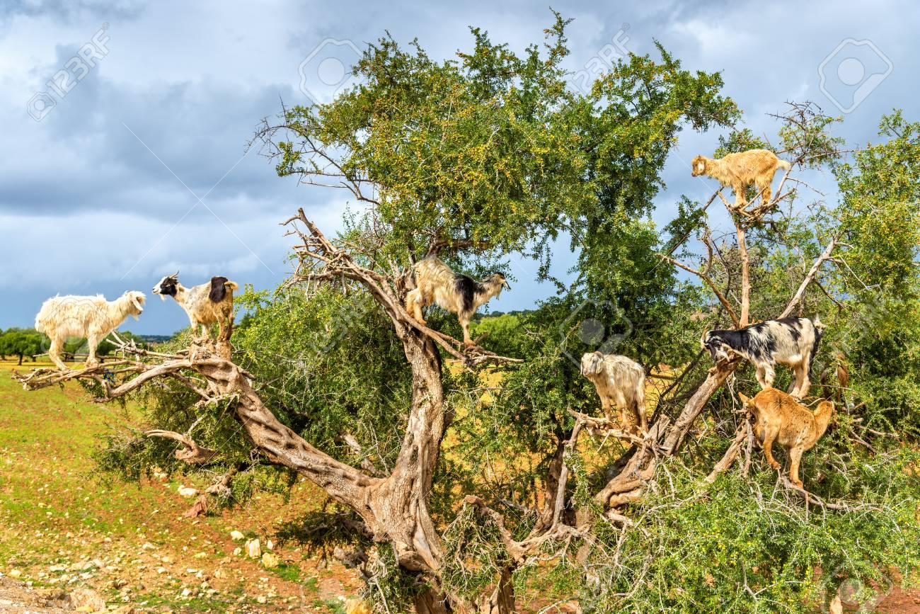 Goats graze in an argan tree - Morocco - 74556045