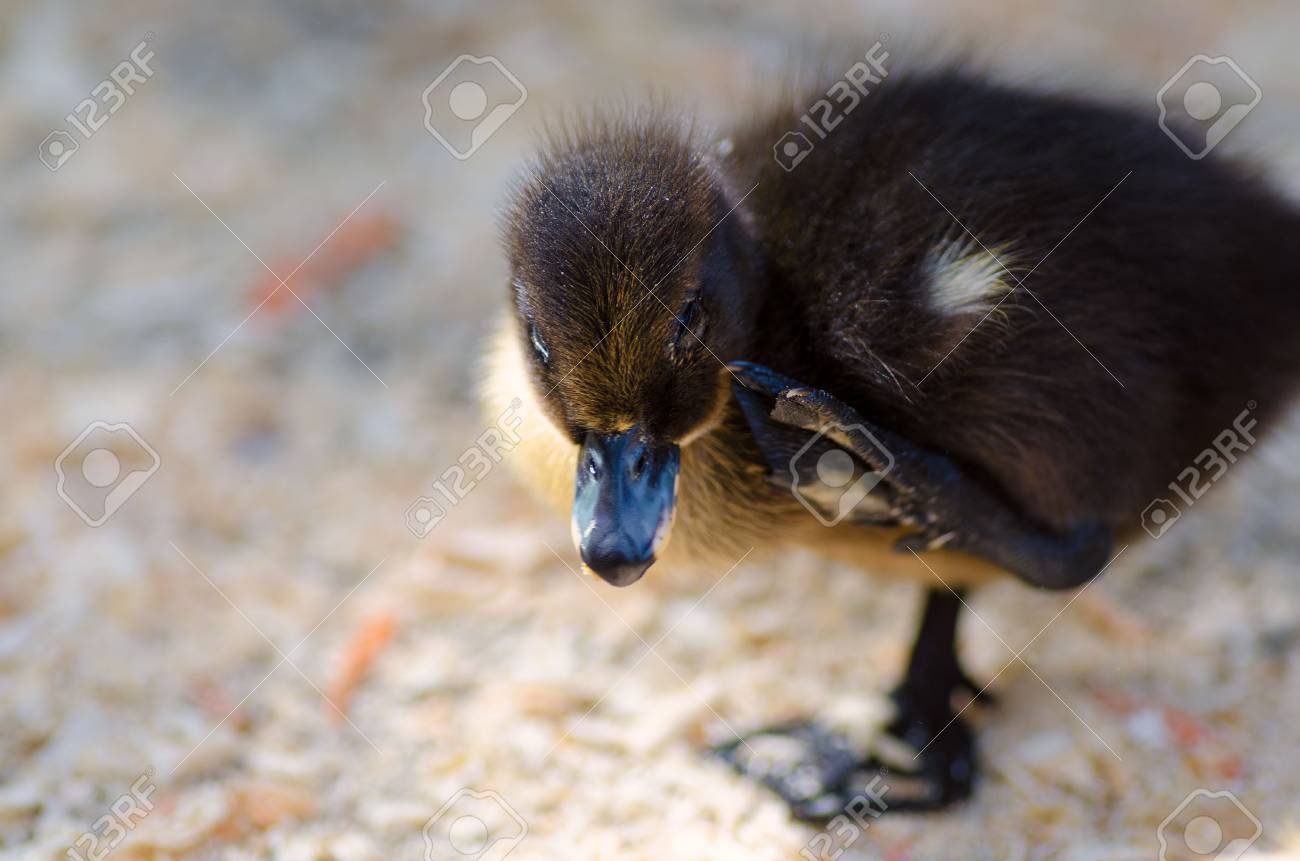 cute black fluffy duckling standing on one leg stock photo picture