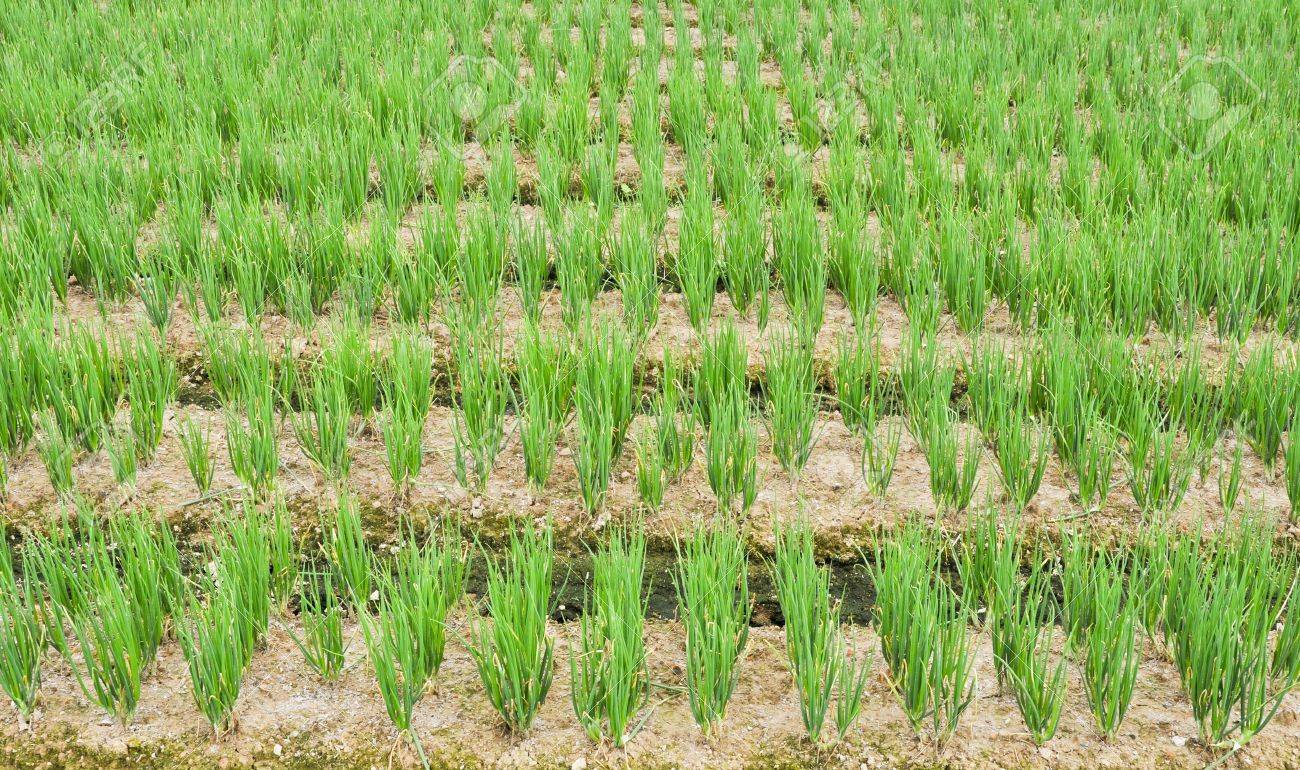 Vegetable garden rows - Rows Of Green Chives In A Large Vegetable Garden Stock Photo 10895649