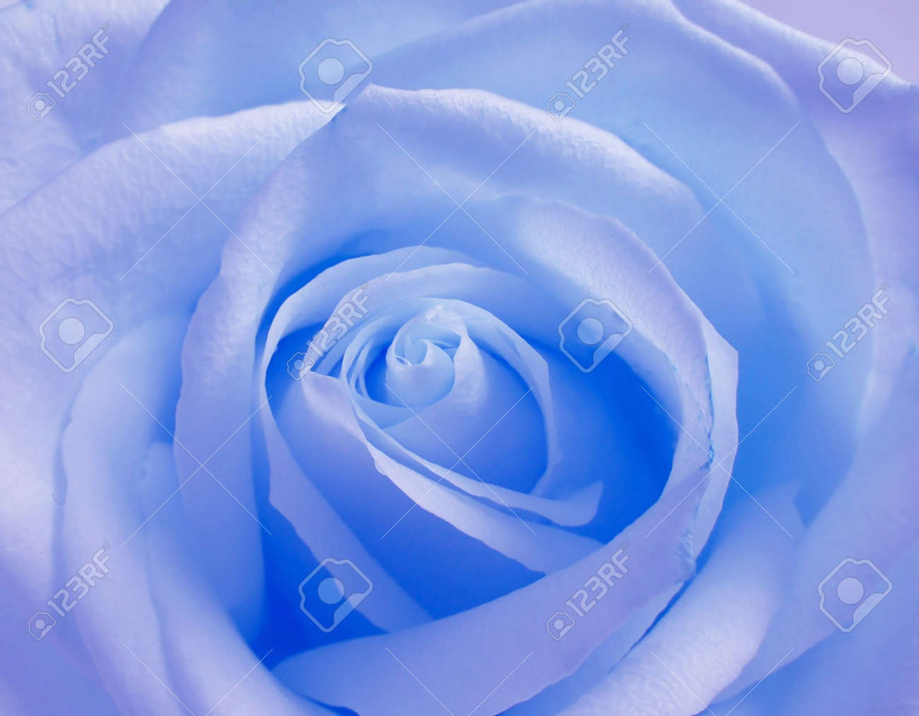 Soft blue rose Stock Photo - 432907