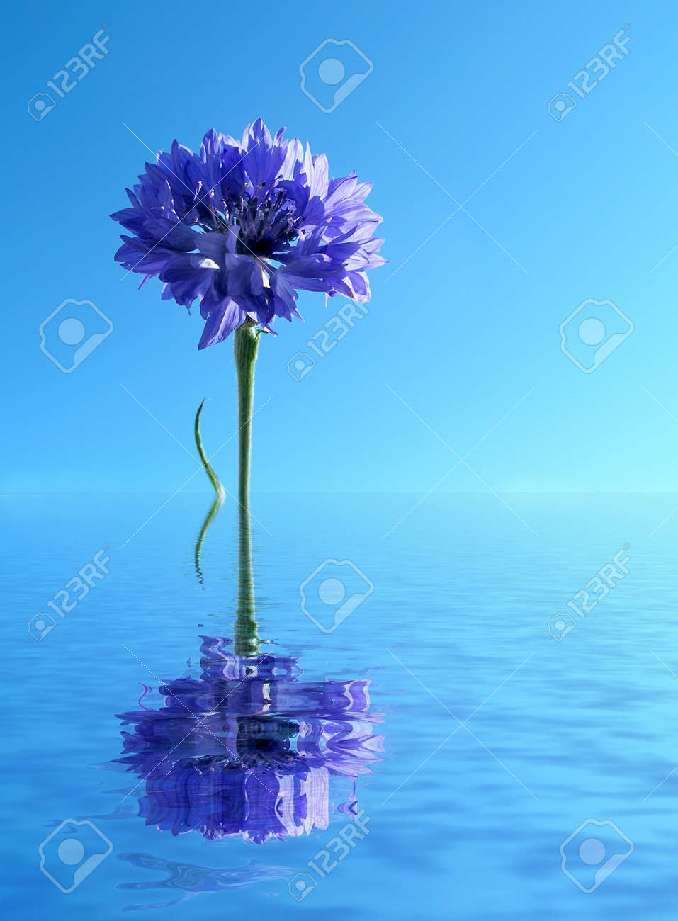 Blue cornflower reflected in water Stock Photo - 552670