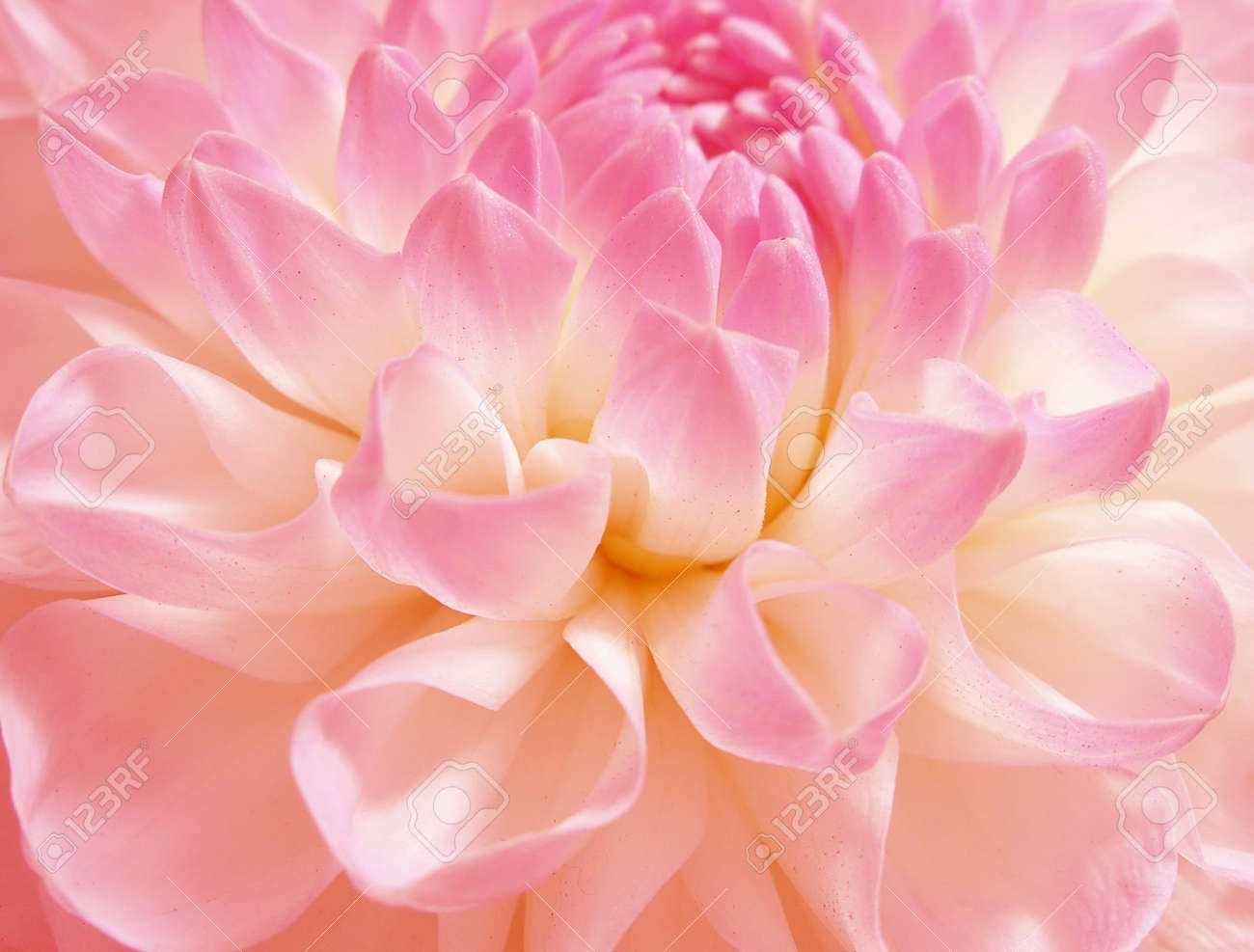 Dahlia of grade andamp,quot, Evelineandamp,quot, close-up Stock Photo - 552665