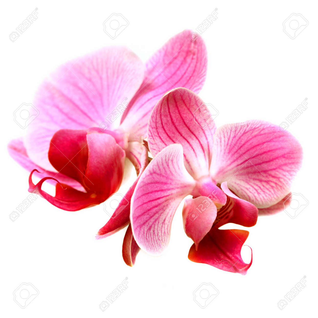 White And Pink Orchid Flowers Flower Pink Orchid
