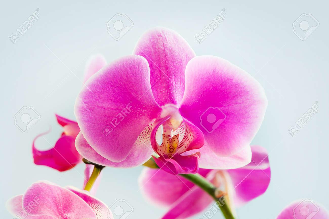 Flower beautiful pink orchid -  phalaenopsis on white background Stock Photo - 8696650