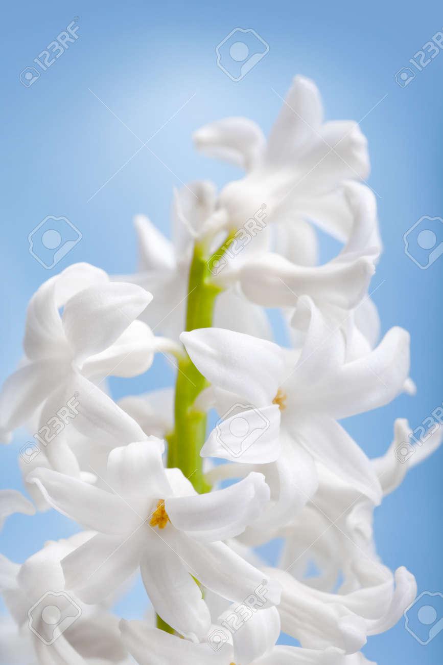 Beautiful flower white hyacinth on blue background Stock Photo - 12165702