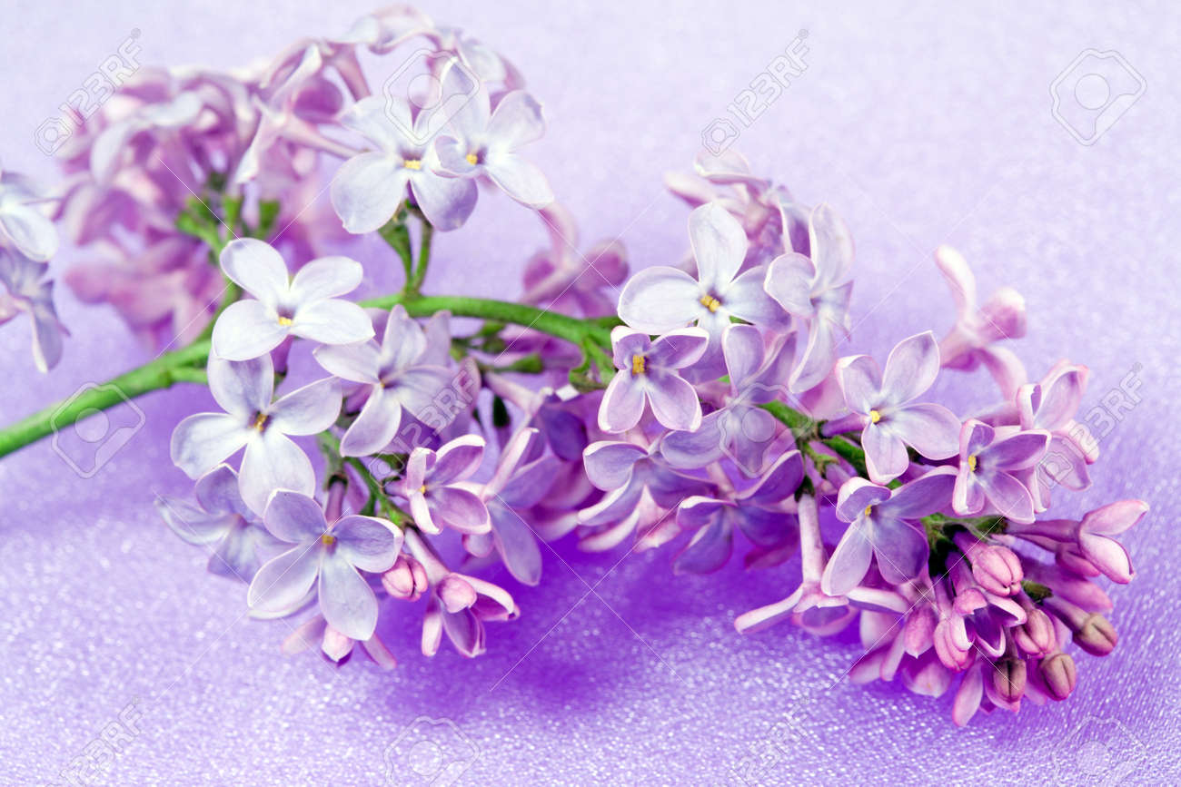 Spring flowers lilac close up on lilac silk stock photo picture and spring flowers lilac close up on lilac silk stock photo 12639202 mightylinksfo