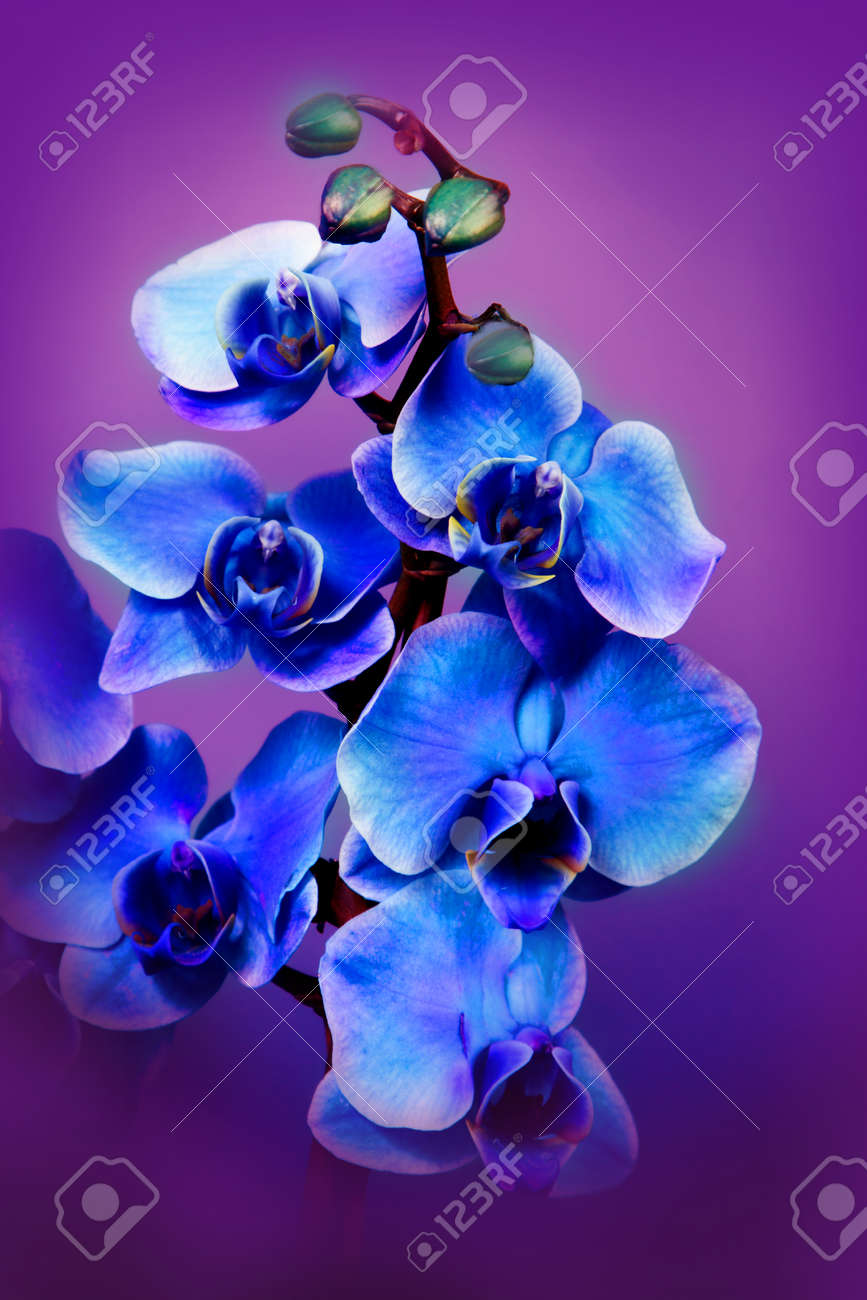 Flores Hermosas Orquideas Azules Fotos Retratos Imagenes Y