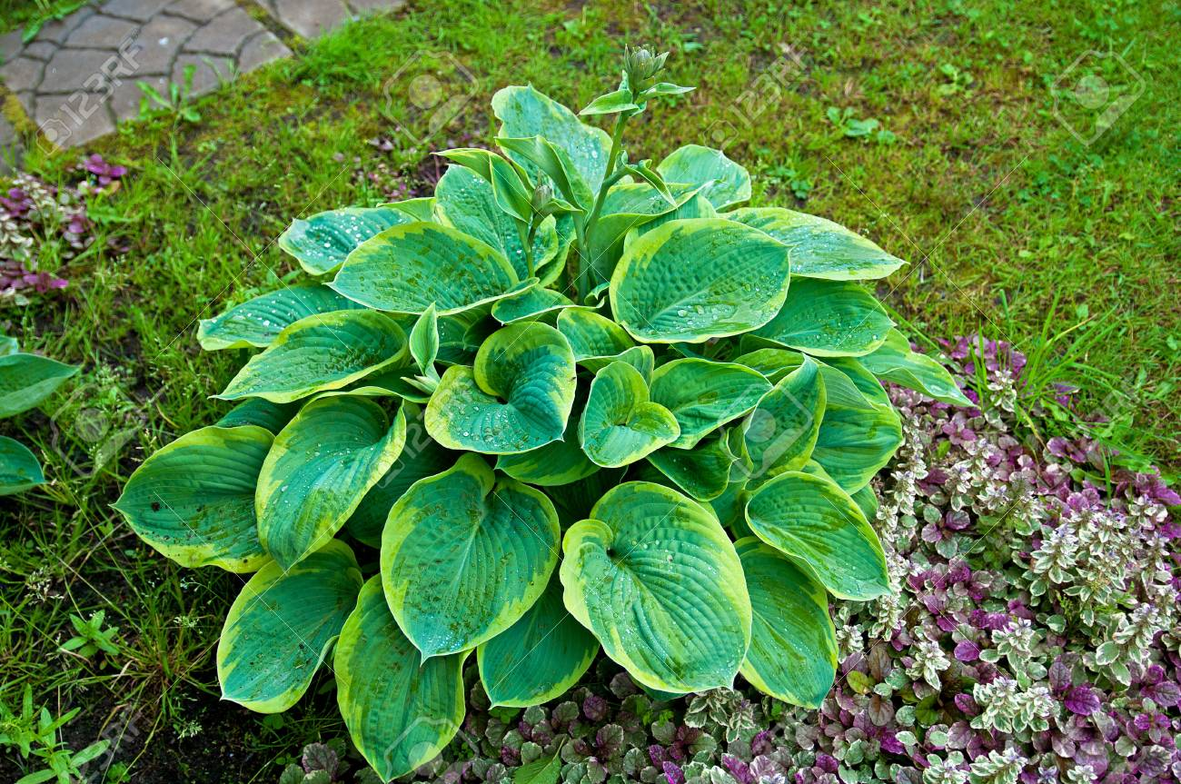 Hosta With Blue And Yellow Leaves Stock Photo Picture And Royalty