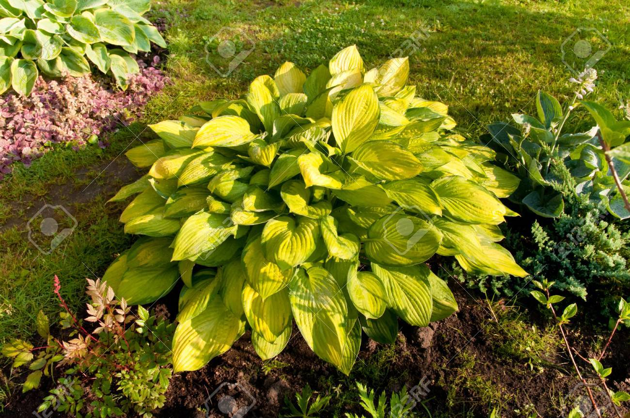 Hosta With Yellow Leaves In The Garden Stock Photo Picture And