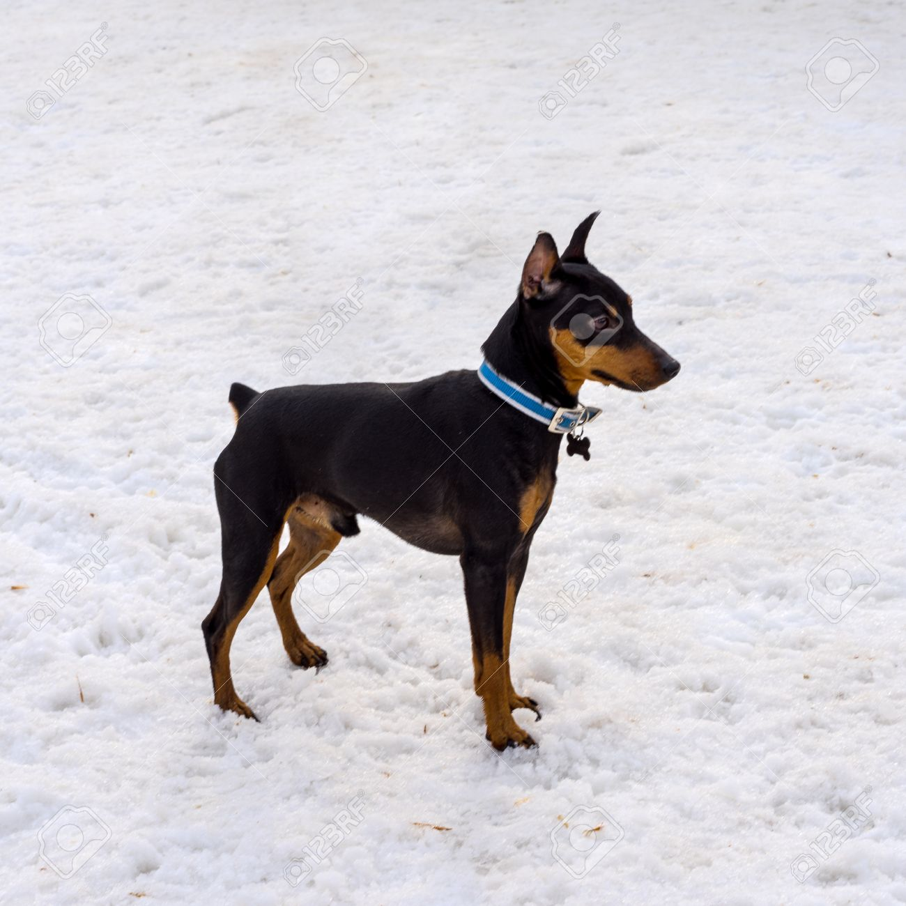 happy black lovely cute miniature pincher dog on a winter day stock