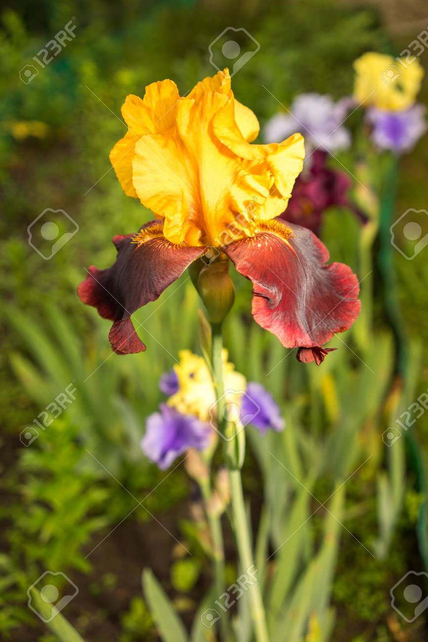 Rare Yellow And Purple Color Iris Flower On A Natural Green Grass